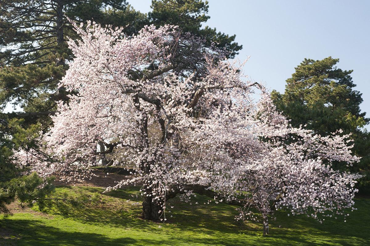 <em>Prunus</em> × <em>yedoensis</em> 'Akebono'