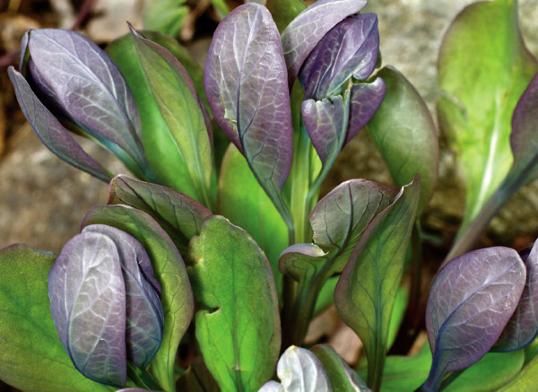 fig-1-mertensia_virginica-young-leaves-jpg