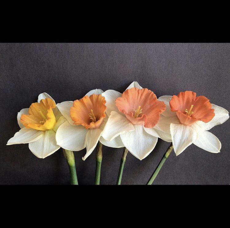 Daffodil Diversity