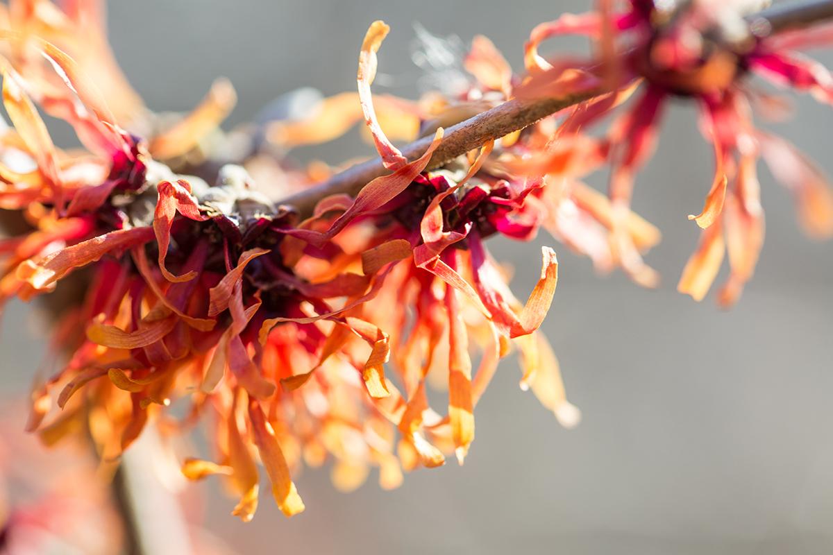 Hamamelis × intermedia 'Diane'