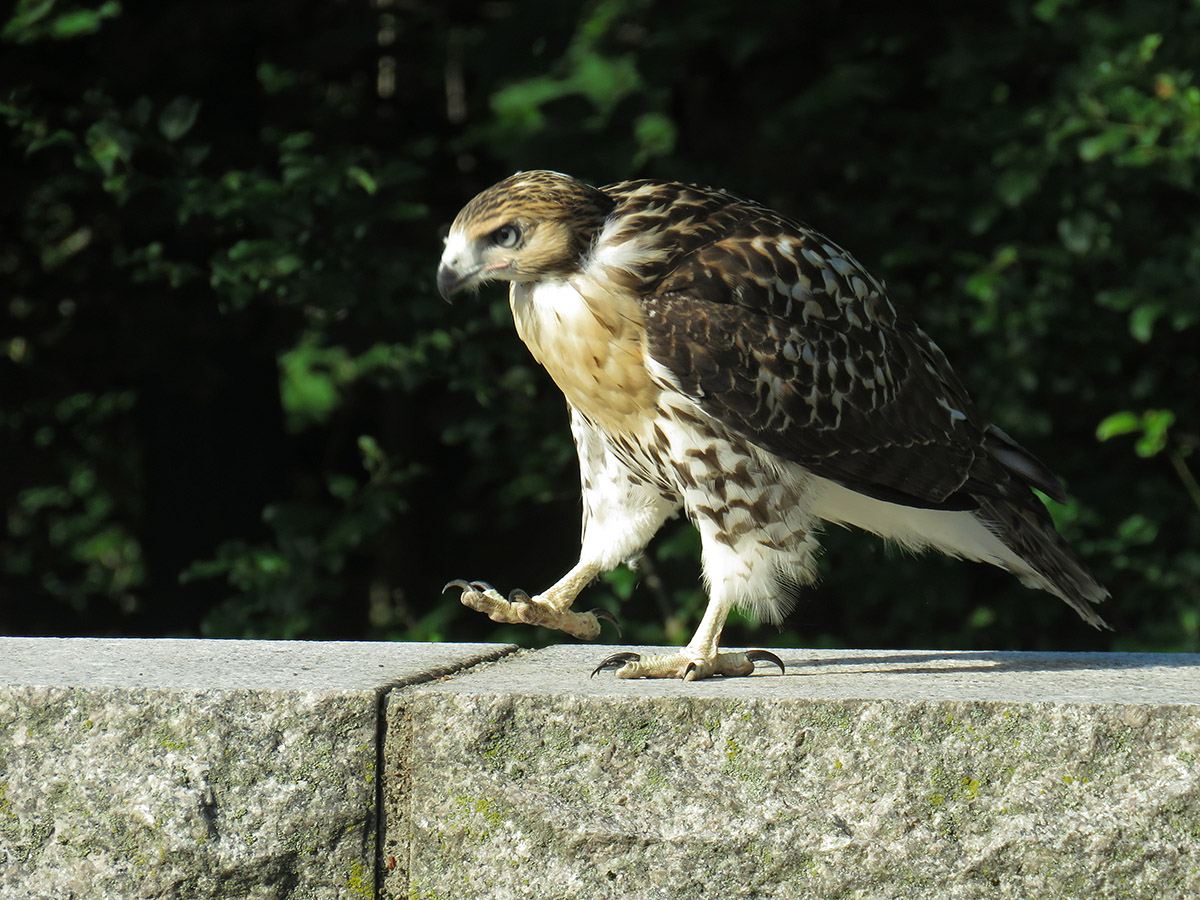 Fledged Red-tail Hawk