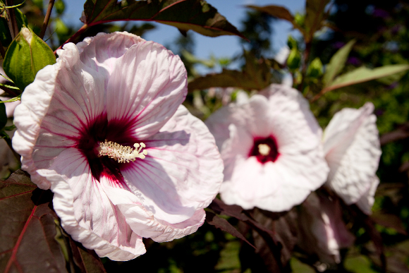 what 39 s beautiful now hibiscus plant talk. Black Bedroom Furniture Sets. Home Design Ideas