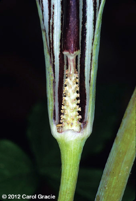 Jack In The Pulpit Pollination By Deception Plant Talk