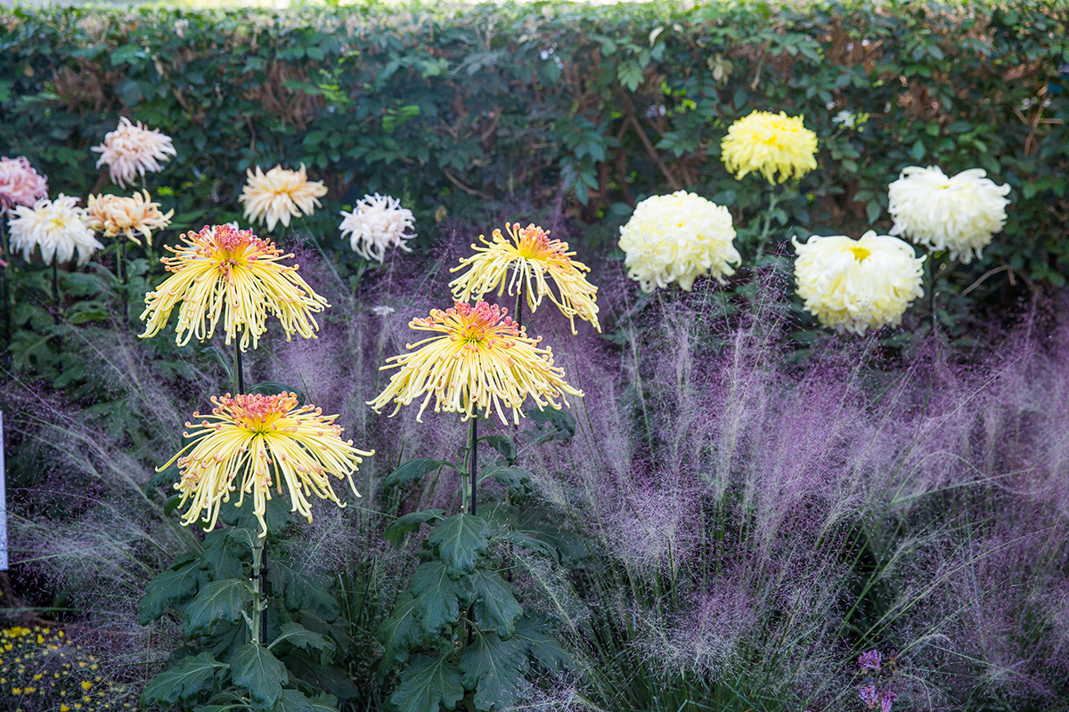 Spider chrysanthemums, <em>Ogiku</em>