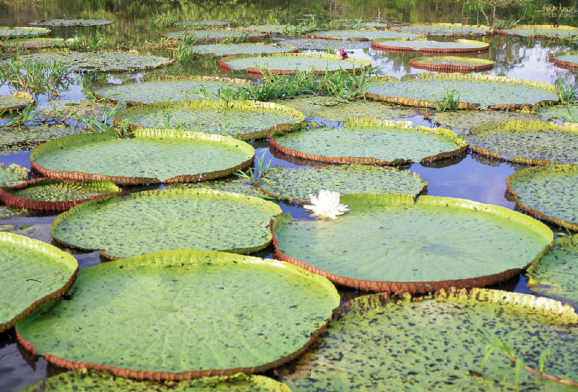 The Amazon Water Lily: Adapted to the River's Rise and Fall | NYBG