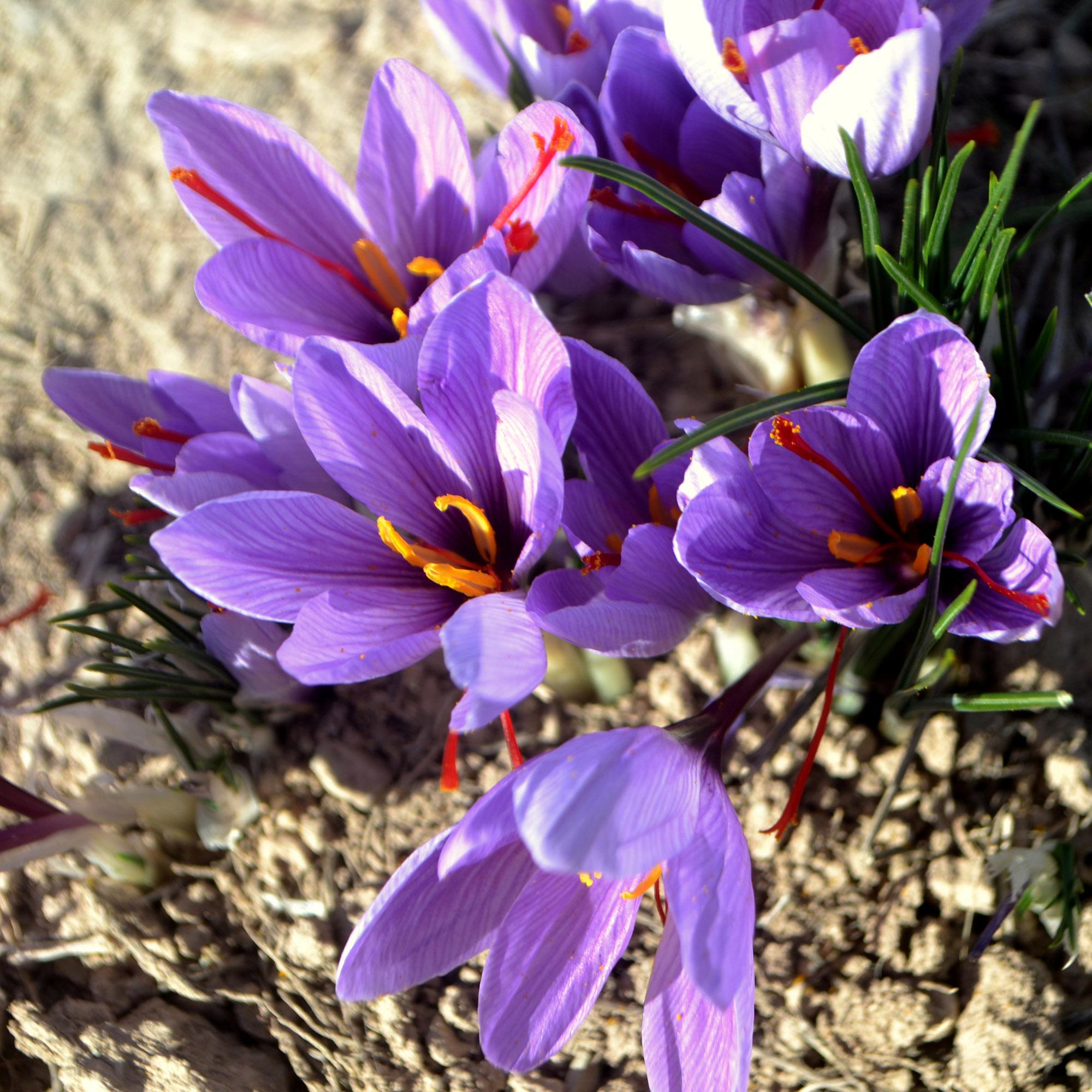 <em>Crocus sativus</em>