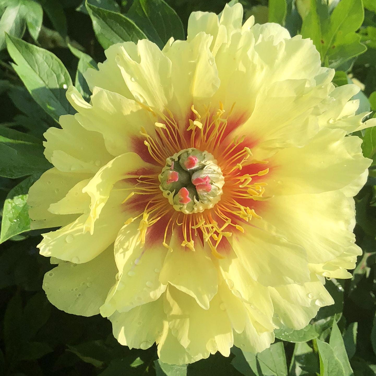 <em>Paeonia</em> 'Garden Treasure' (Intersectional/Itoh)