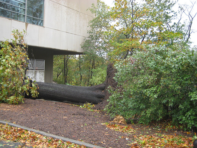 The tree that hit the Pfizer Lab
