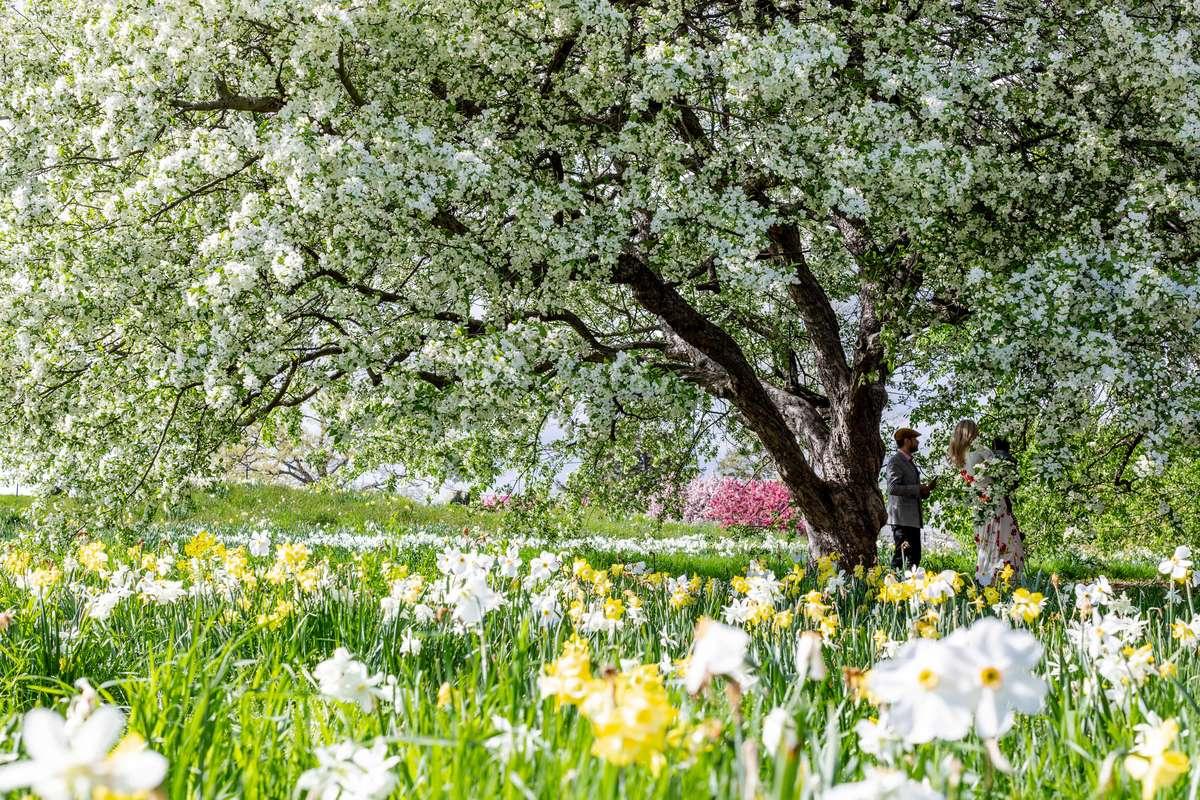 A Million Daffodils