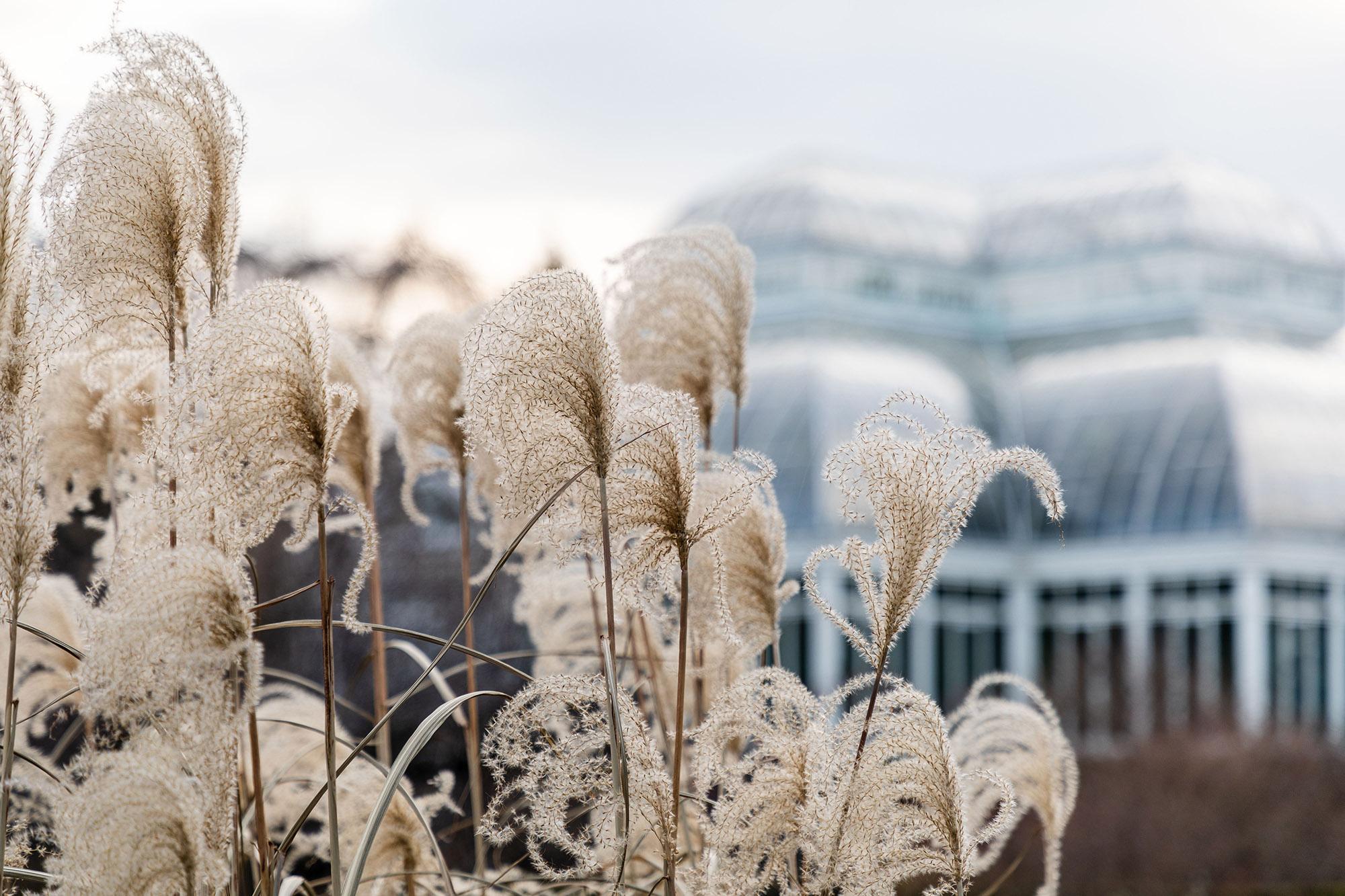 Japanese silver grass (<em>Miscanthus sinensis</em> var. <em>condensatus</em>)