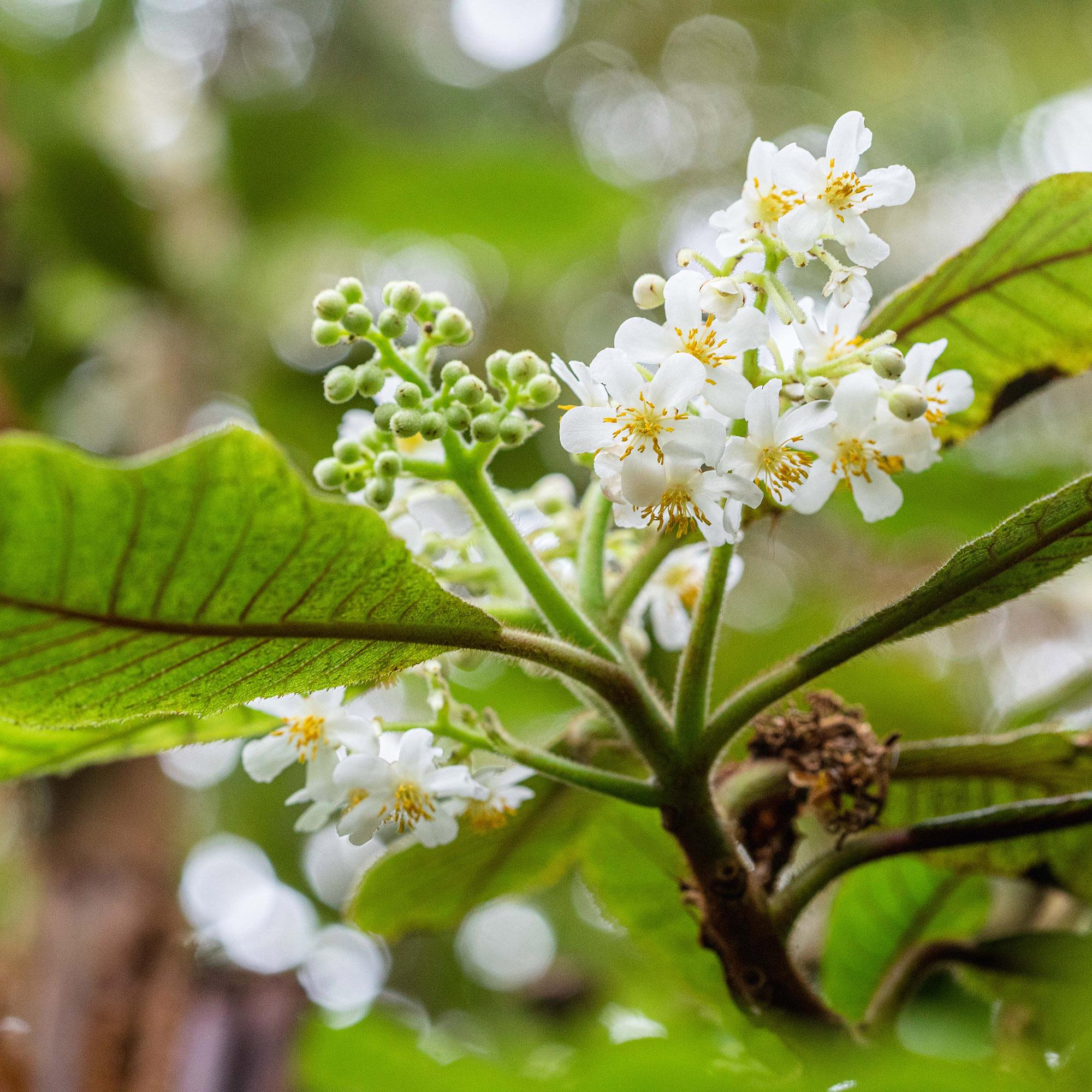 <em>Saurauia madrensis</em>