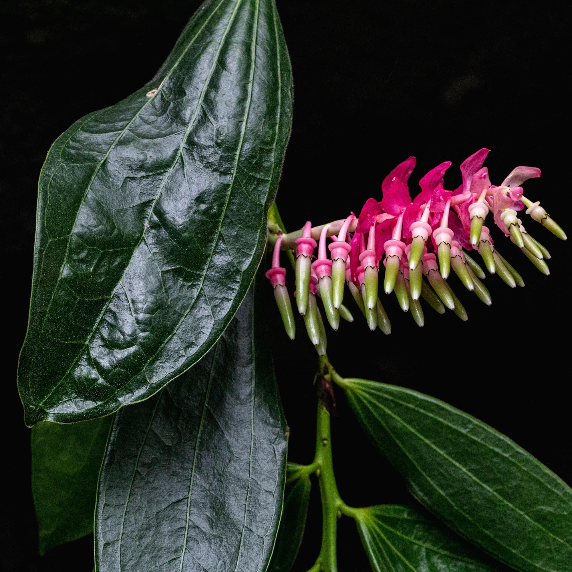 <em>Cavendishia grandifolia</em>