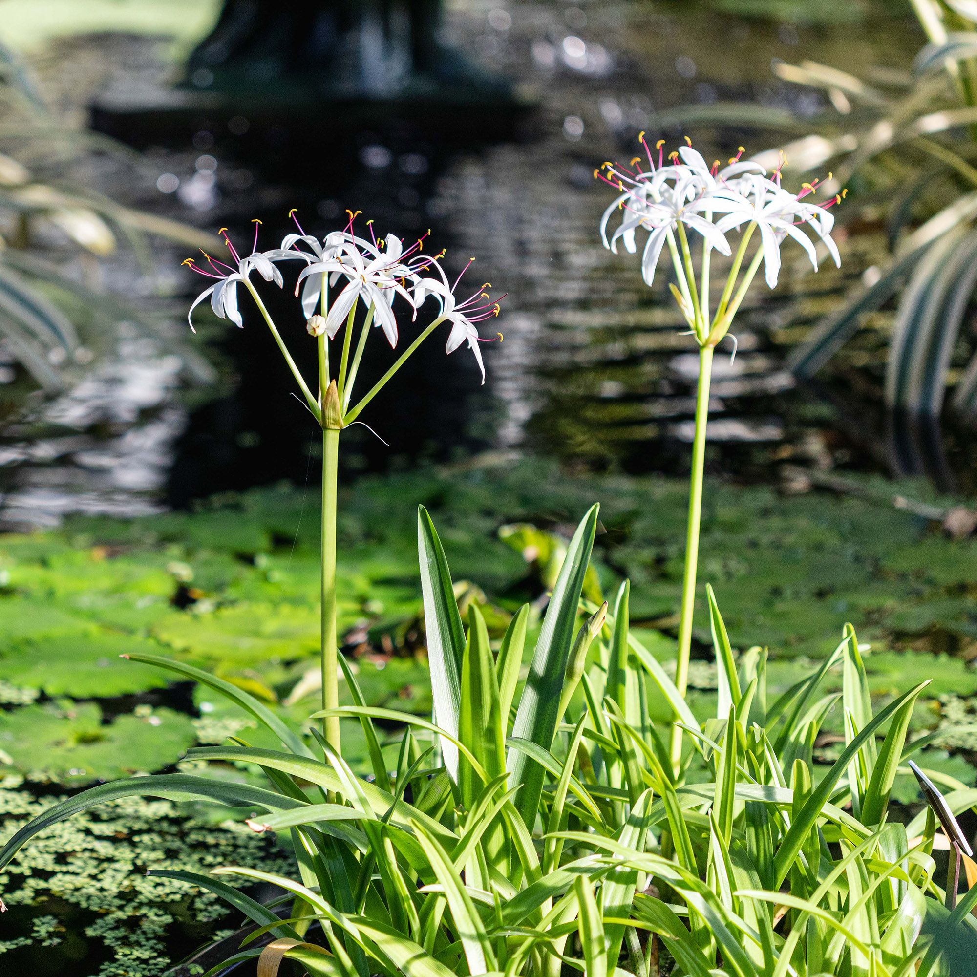 <em>Crinum americanum</em>