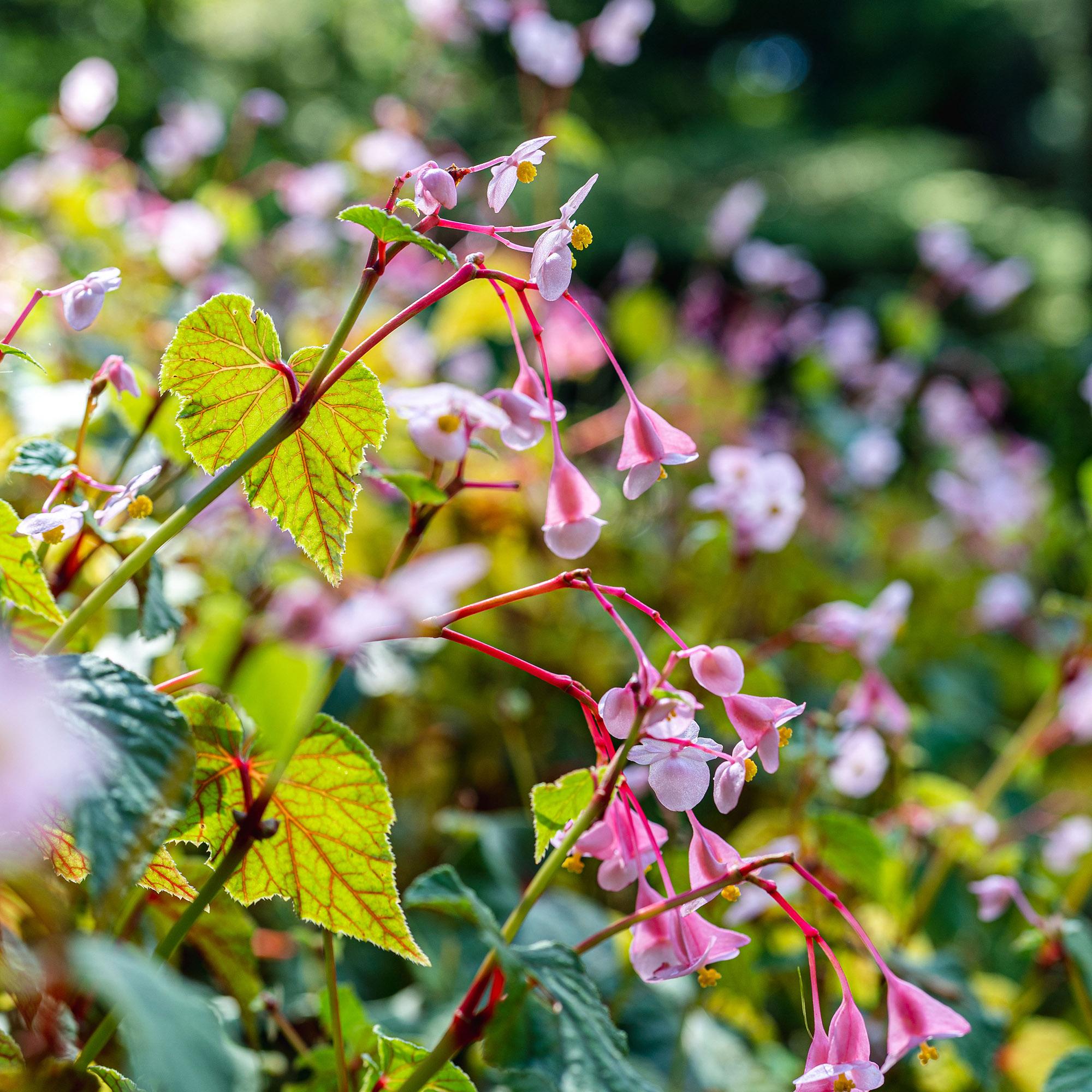 <em>Begonia grandis</em> ssp. <em>evansiana</em>