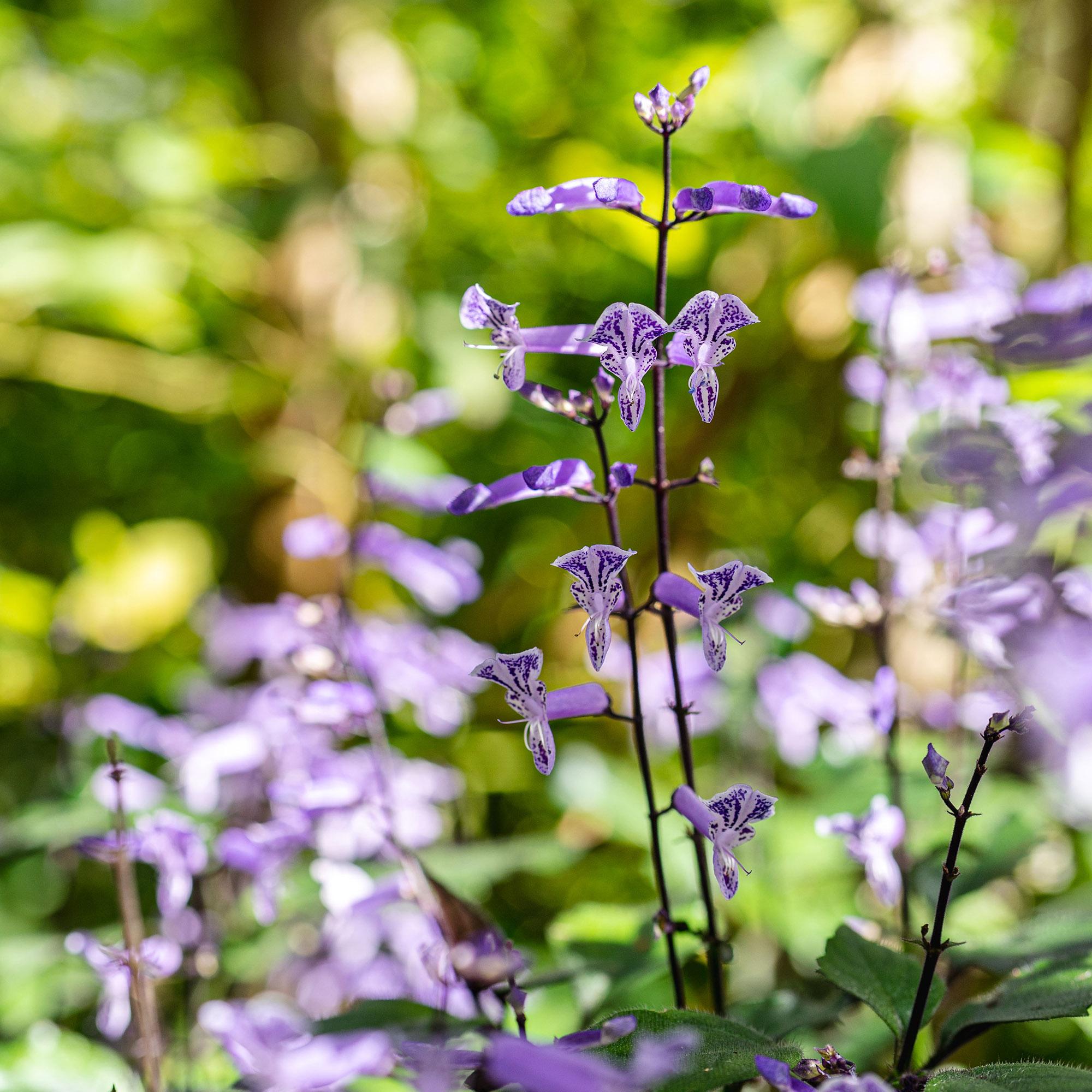 <em>Plectranthus</em> 'Mona Lavender'