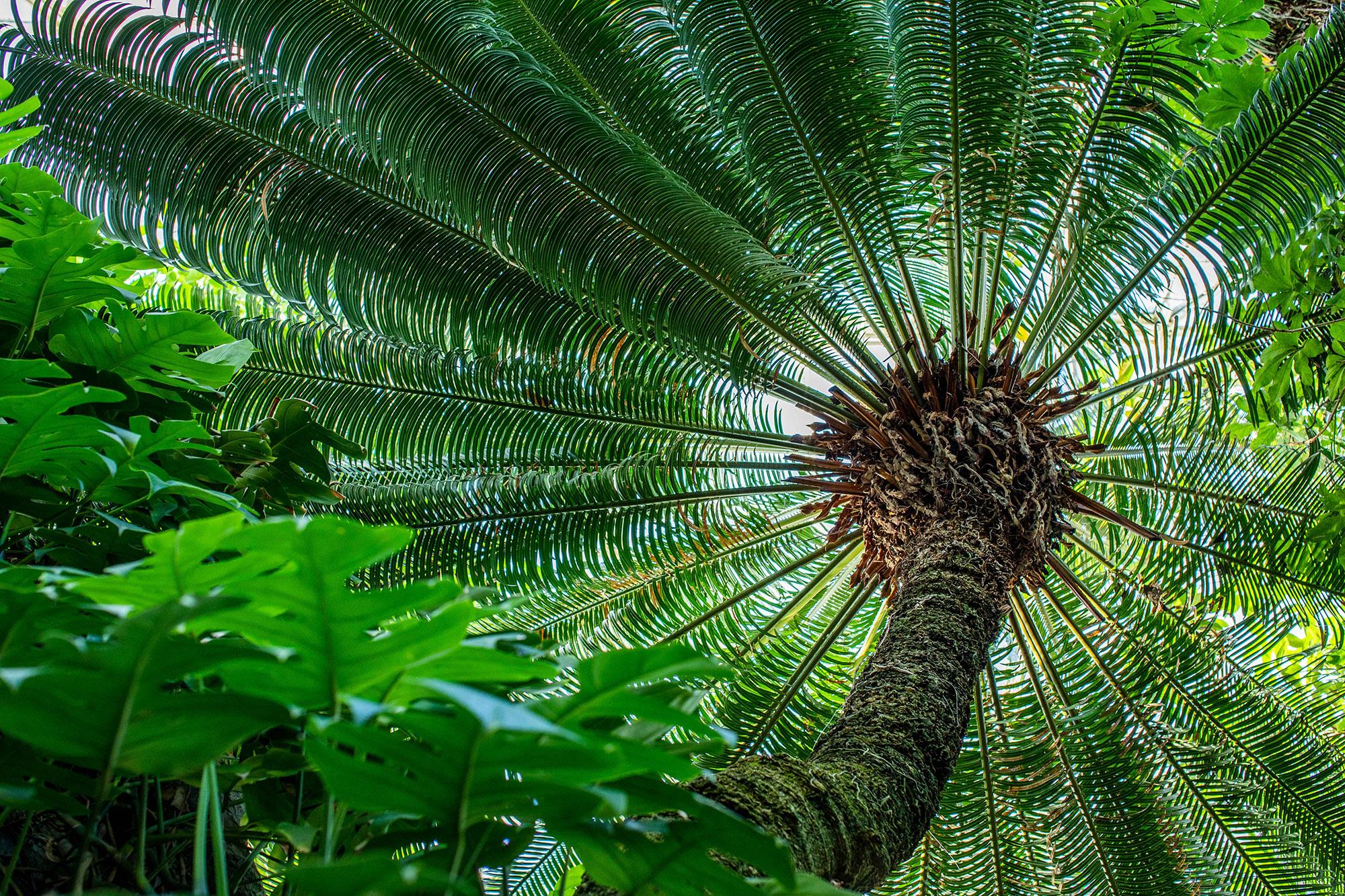 Sago-palm (<em>Cycas circinalis</em>)
