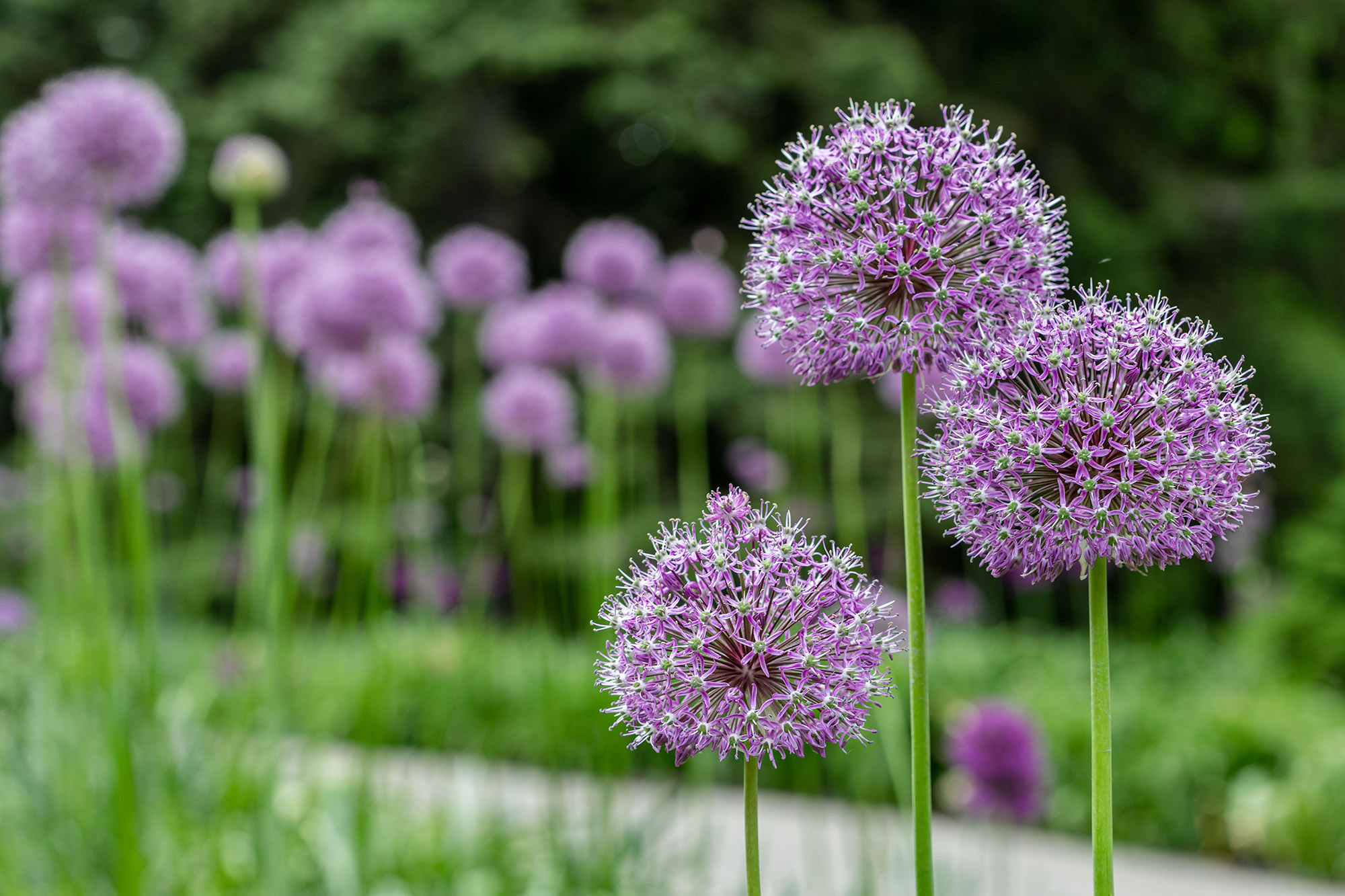Ornamental onions (alliums) along Daylily Walk