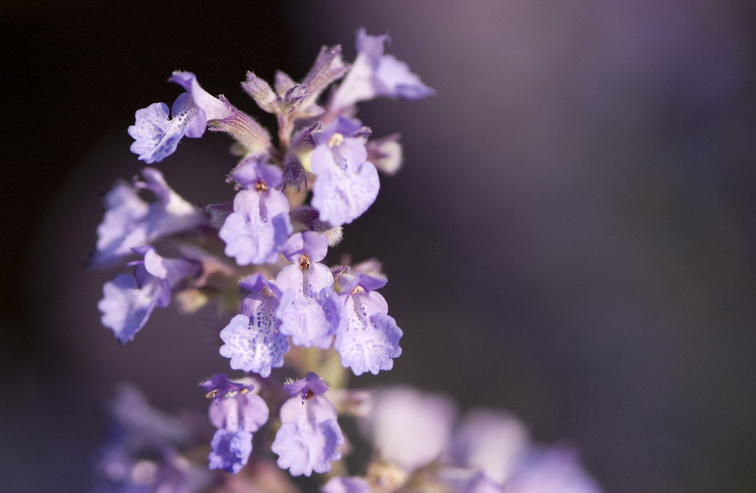 Perennial of the Week: Catmint (<em>Nepeta</em>)