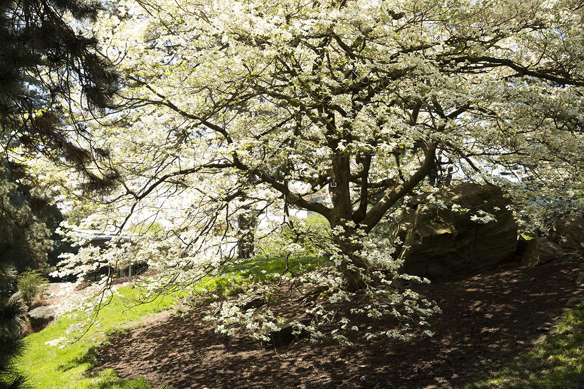 Tree of the Week: <em>Cornus florida</em>, Flowering Dogwood