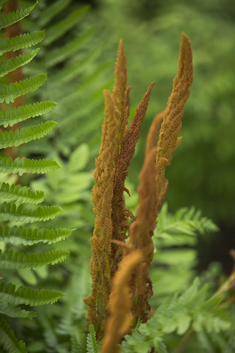 Perennial of the Week: <em>Osmundastrum cinnamomeum</em>, Cinnamon Fern