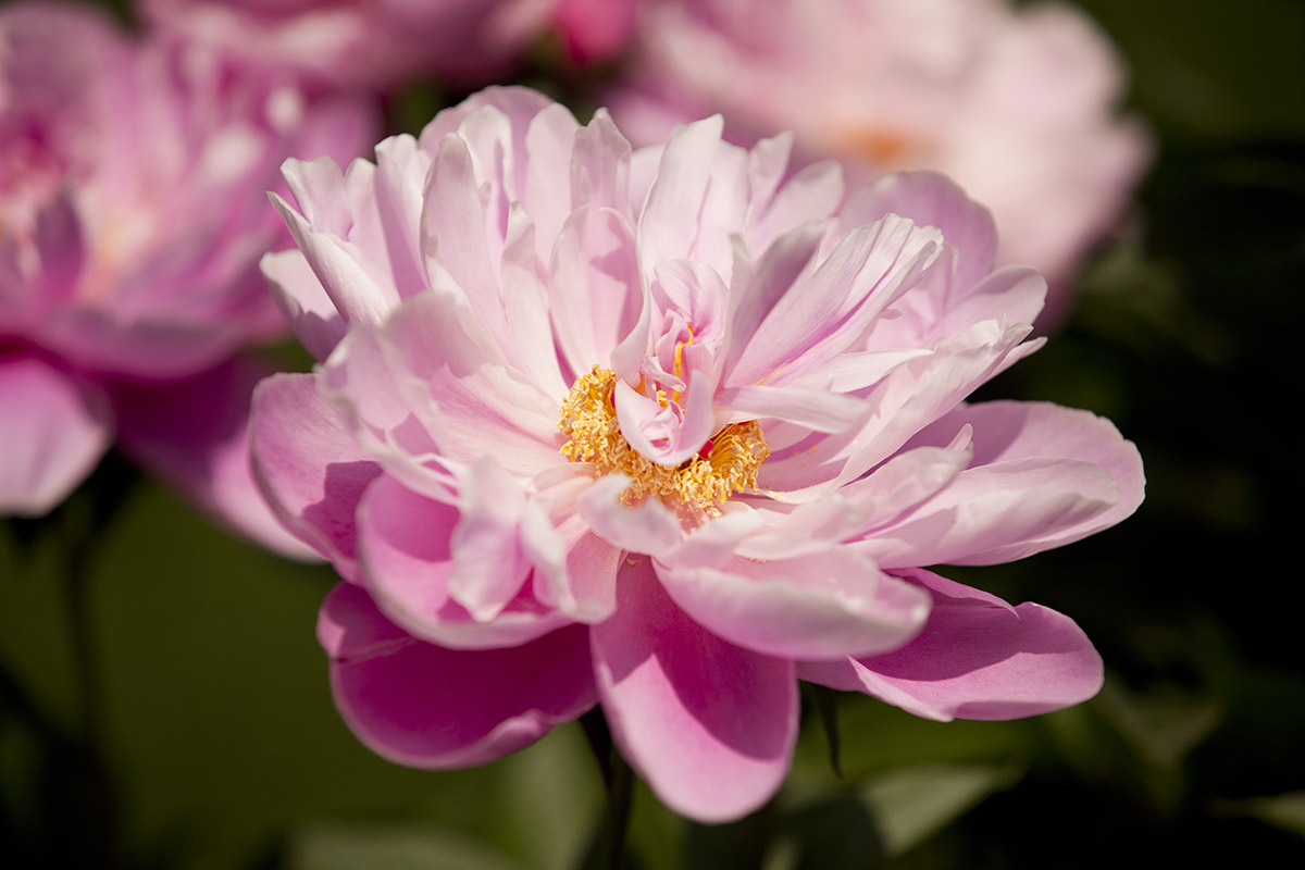 Perennial of the Week: <em>Paeonia lactiflora</em> various cultivars, herbaceous peony