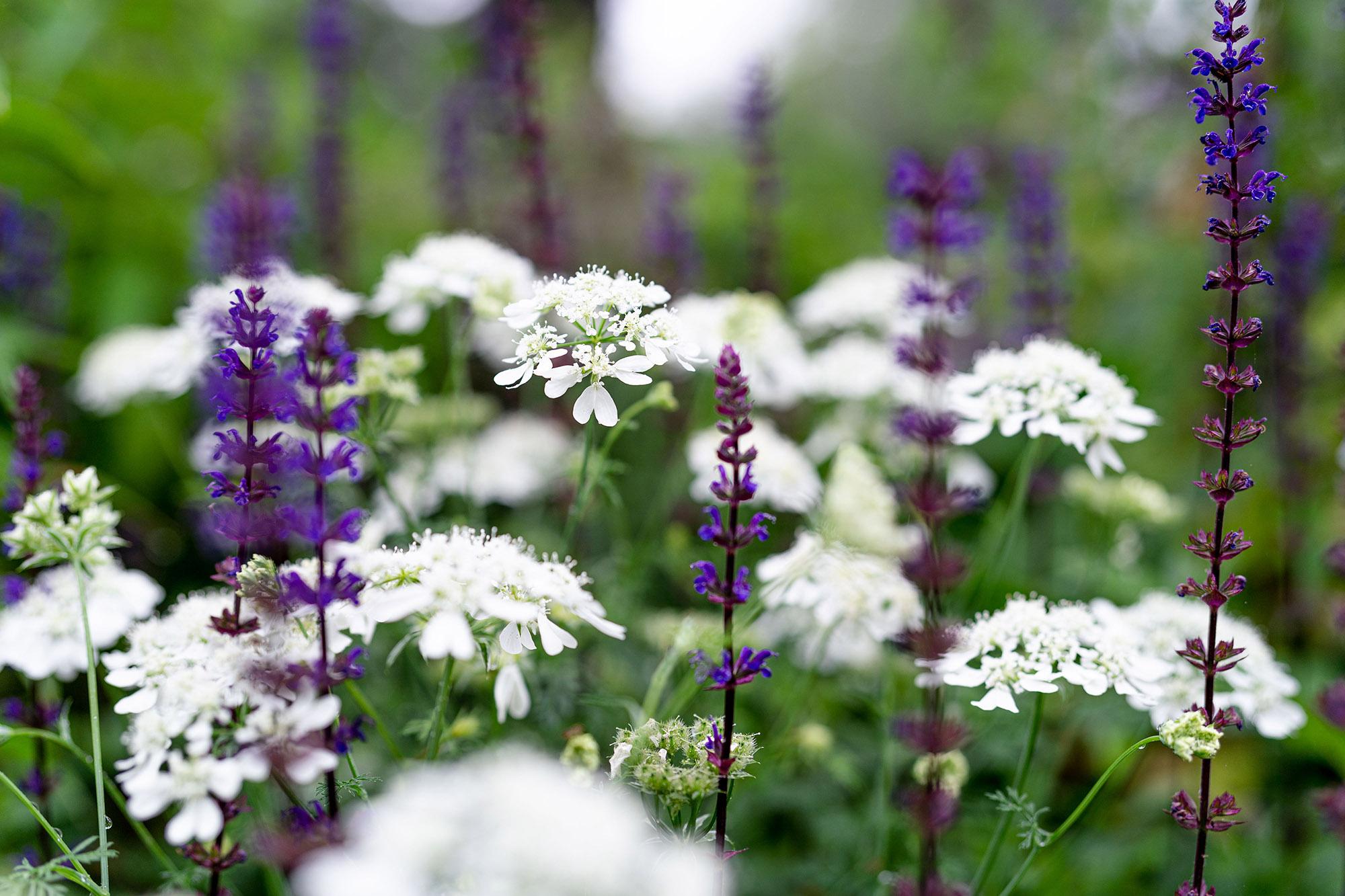 <em>Orlaya grandiflora</em>
