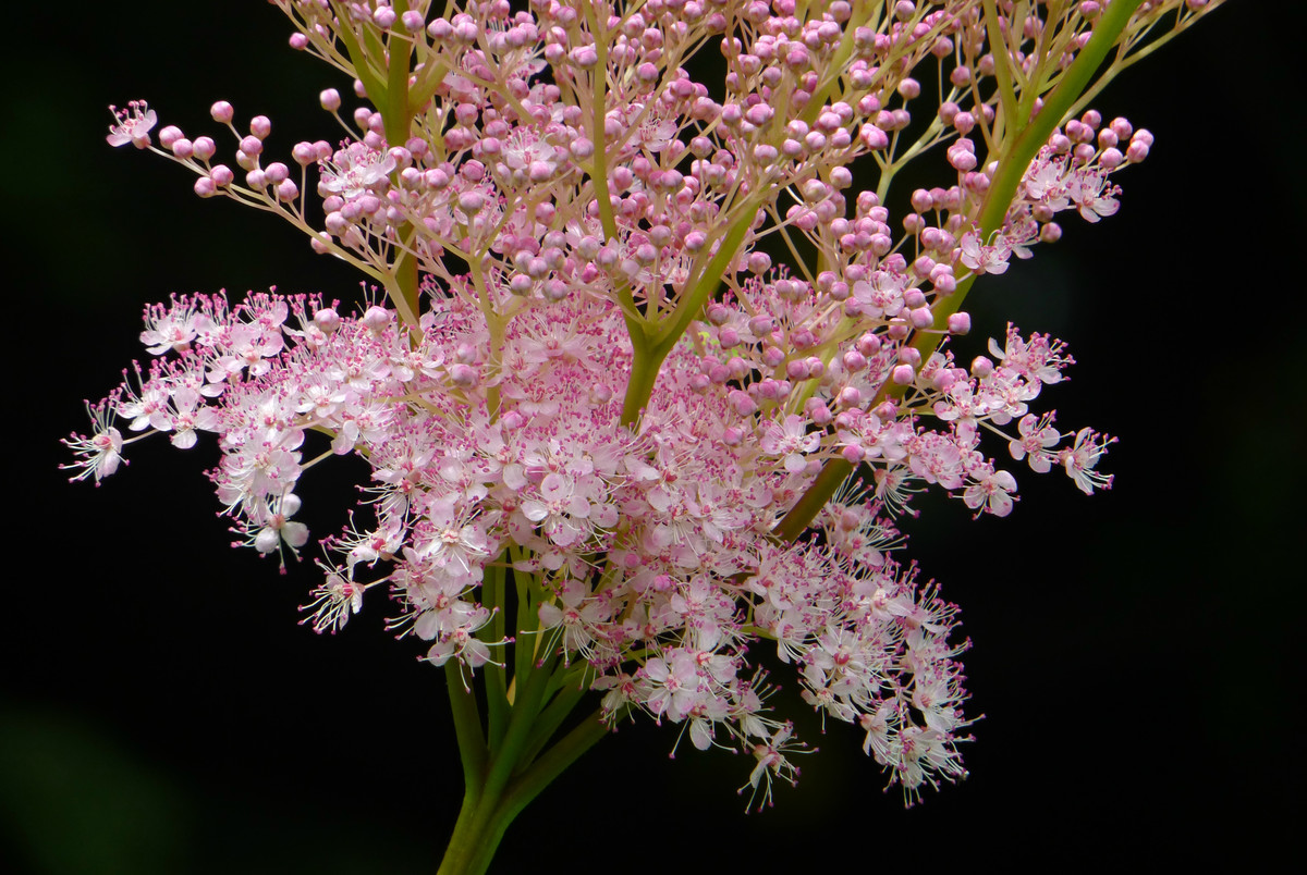 Perennial of the Week: <em>Filipendula rubra</em> 'Venusta'