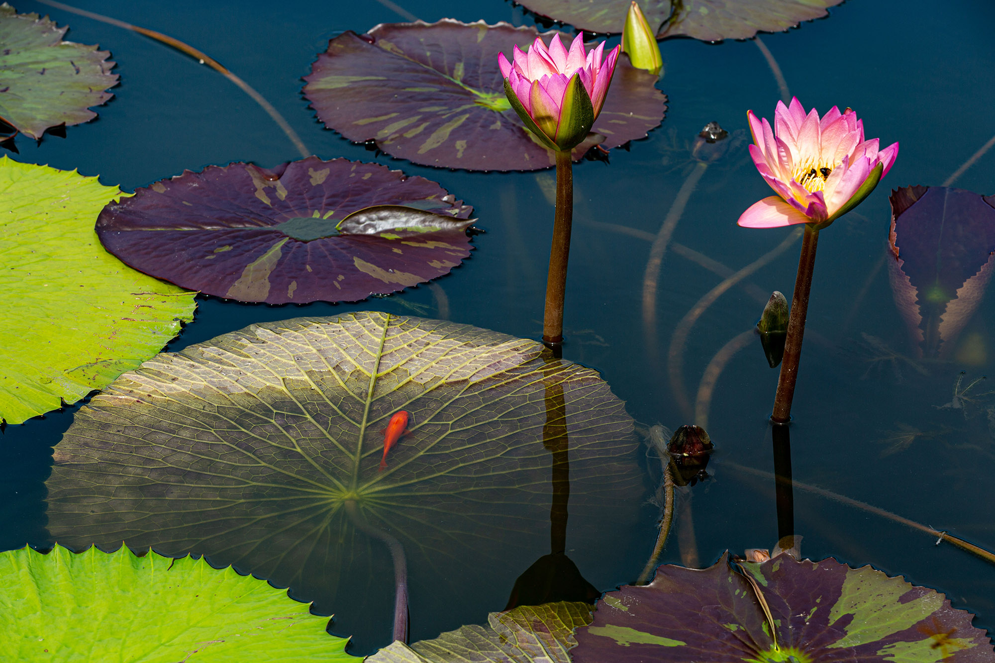 <em>Nymphaea</em> in the Conservatory Courtyard Pools