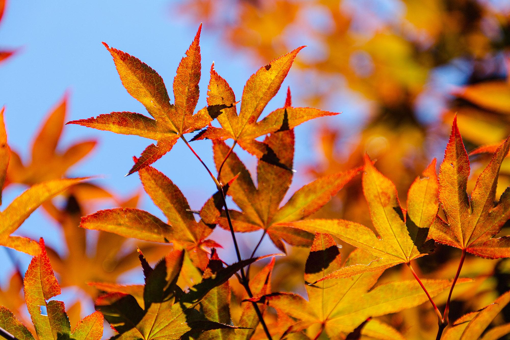 <em>Acer palmatum</em> 'Sumi nagashi'