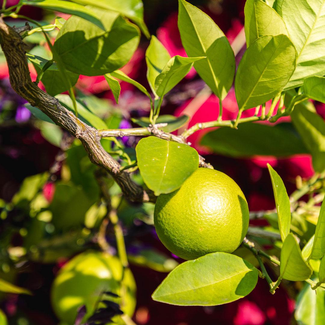 Blood orange (<em>Citrus</em> × <em>sinensis</em> 'Blood Orange')