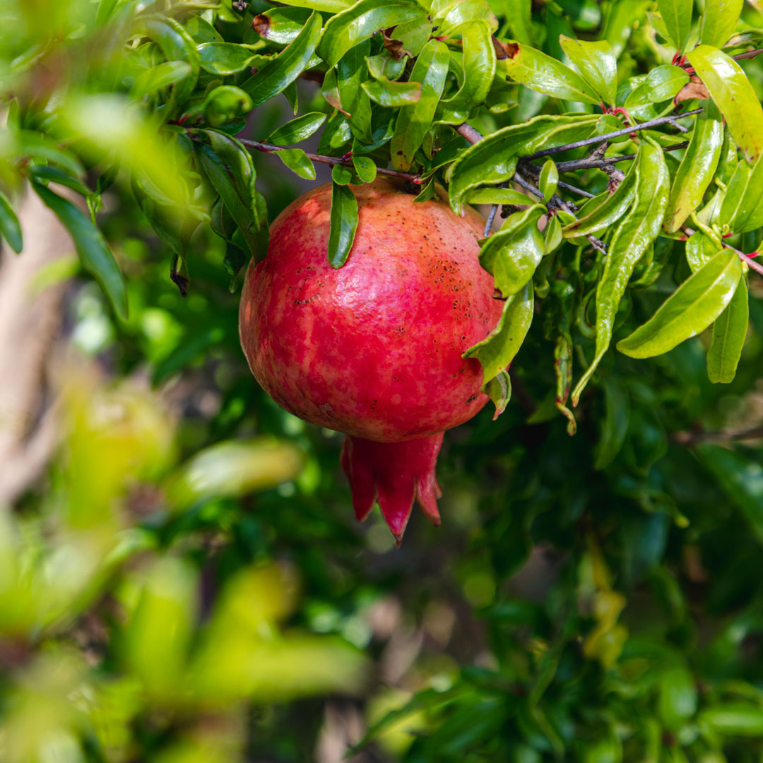 Dwarf pomegranate (<em>Punica granatum</em> 'Nana')