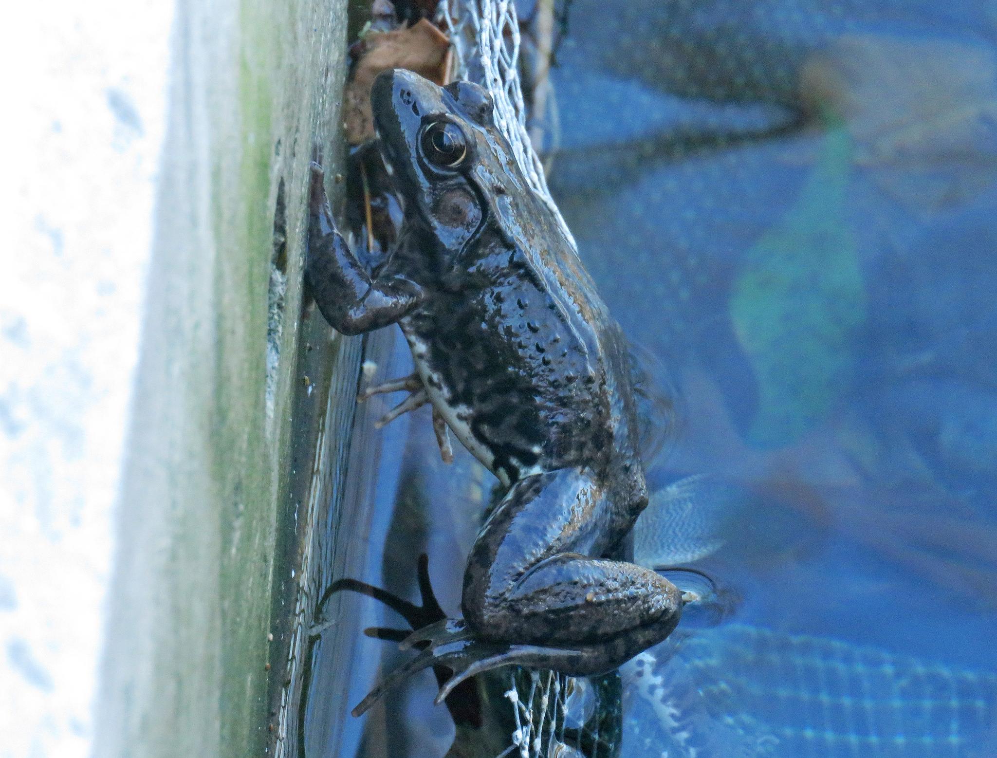 Green frog (<em>Lithobates clamitans</em>)