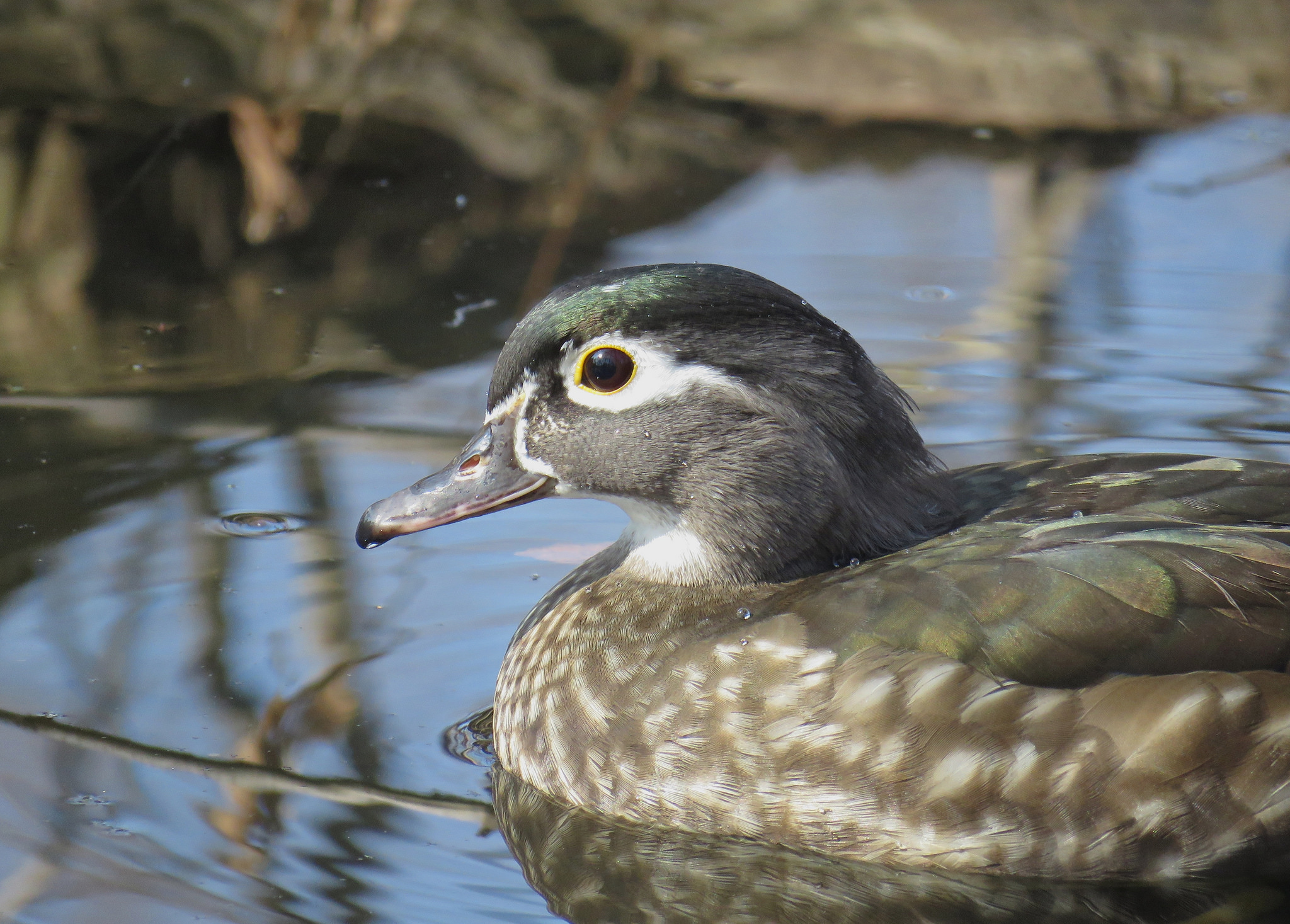 Wood duck (<em>Aix sponsa</em>)