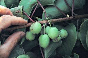 ACTINIDIA-HARDY KIWI FRUIT-100 dpi
