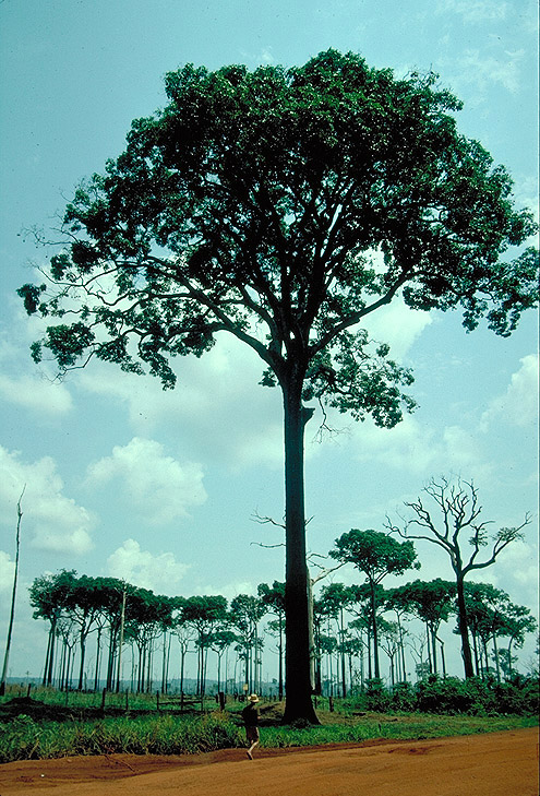 BnutWWThomas_trees