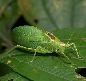 C2FS9001 male N True katydid