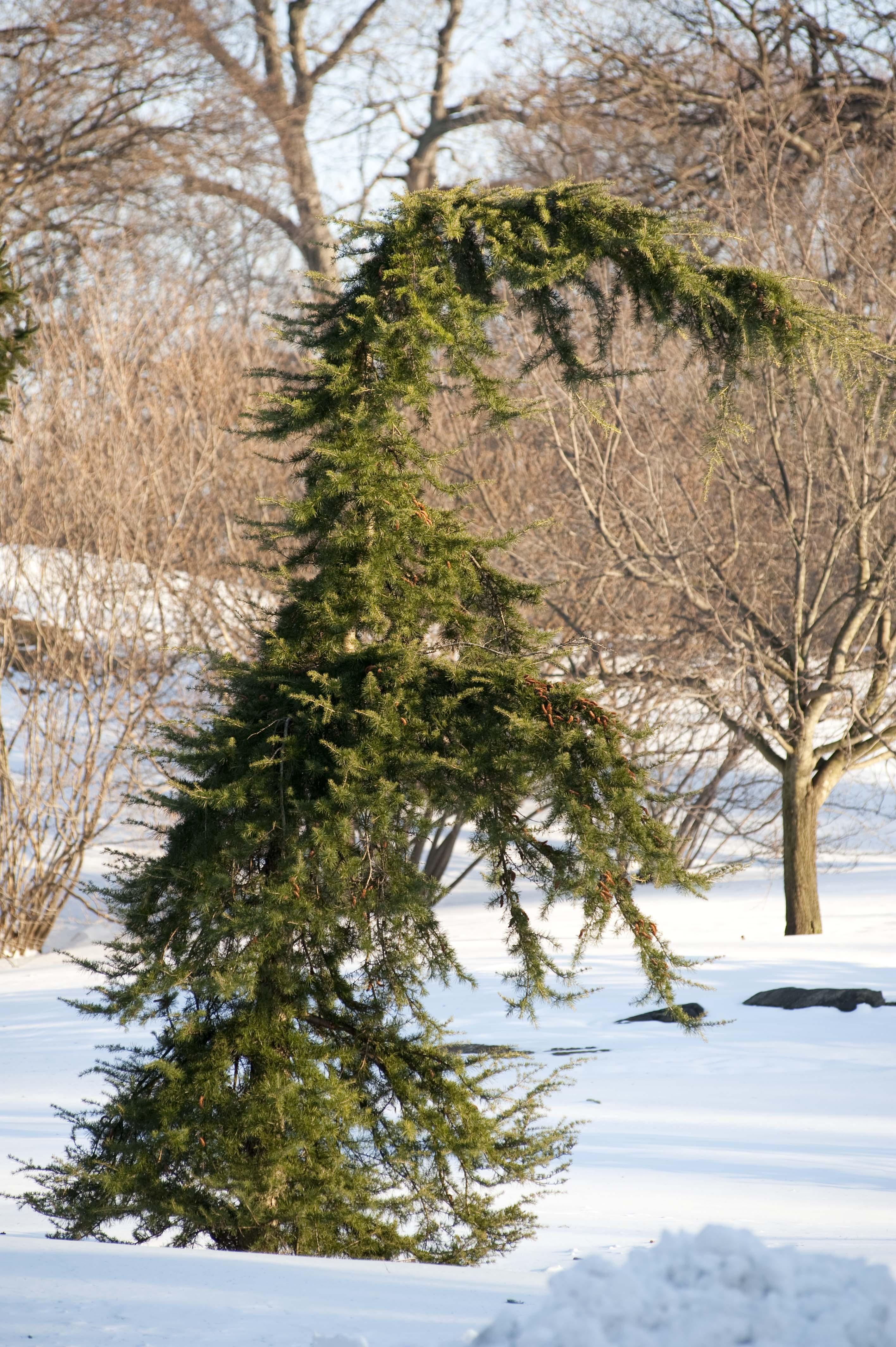 Cool Conifers Continued Plant Talk