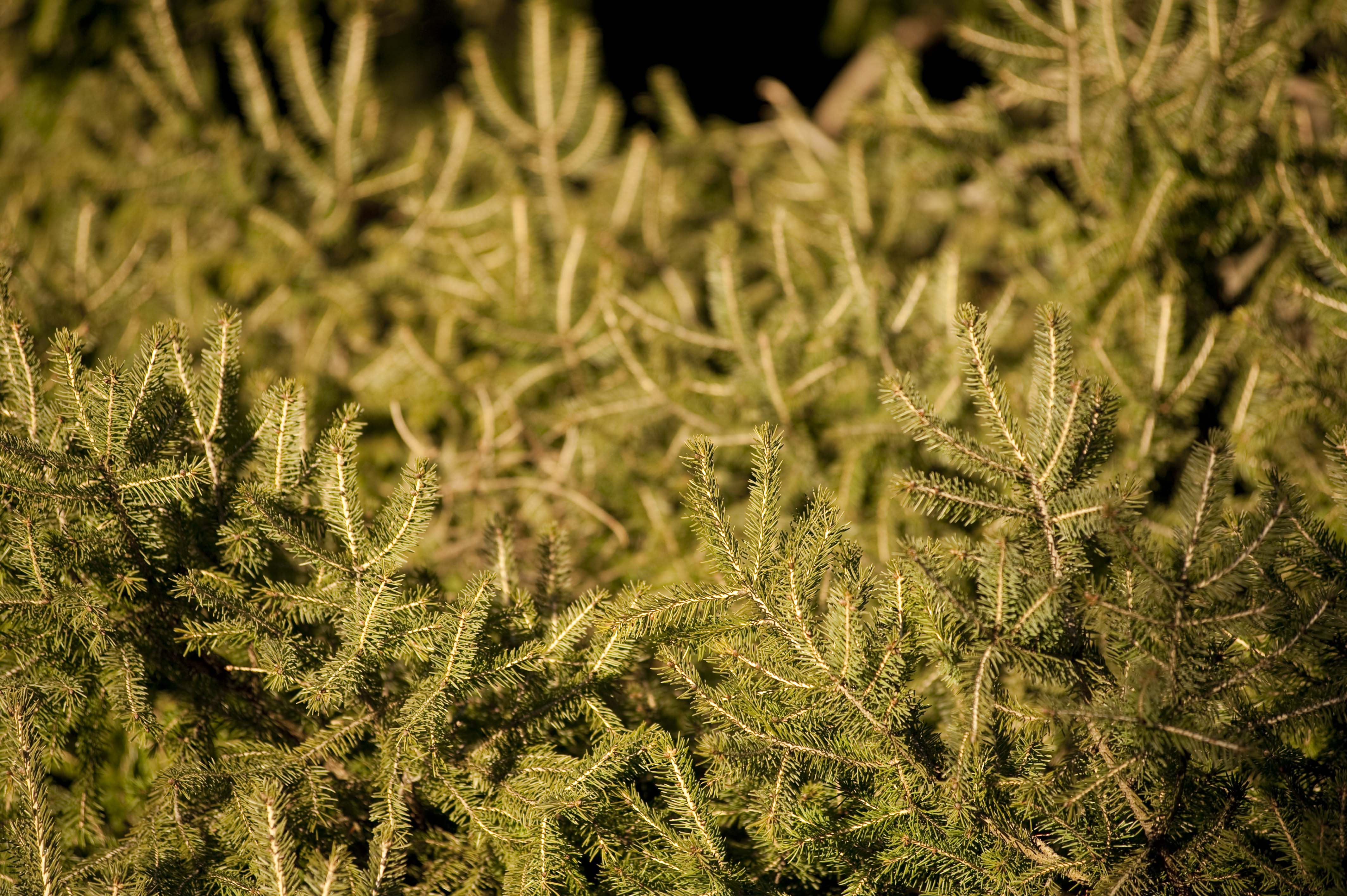 Conifers Contained - Plant Talk