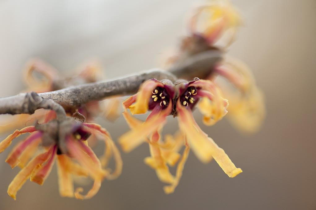 Hamamelis x intermedia 'Orange Peel'