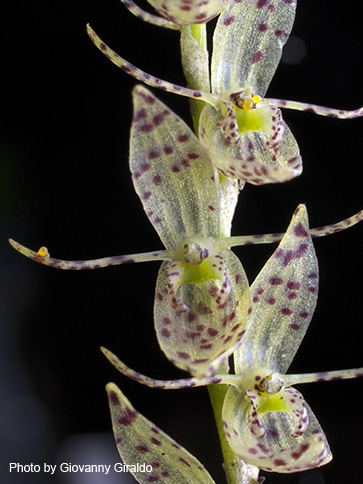 """Pleurothallis s.l."" Orchids in general, have very delicate flowers that are easily damaged once collected."