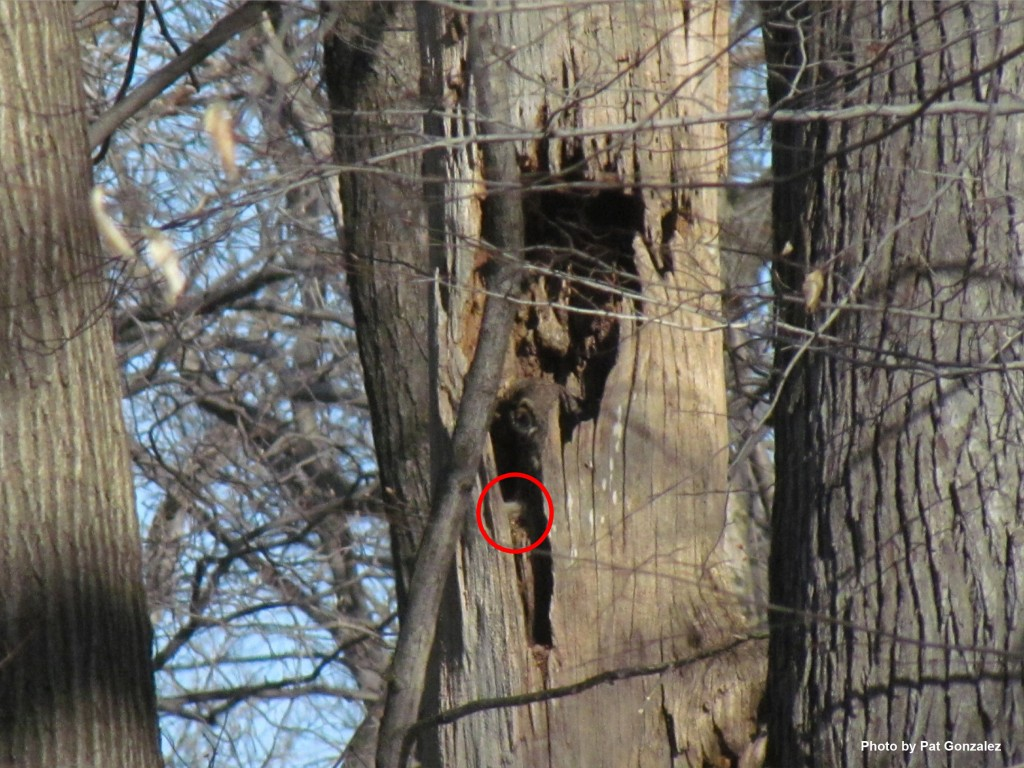 Mama and her baby owl. We have circled the chick in red. (photo by Pat Gonzalez)