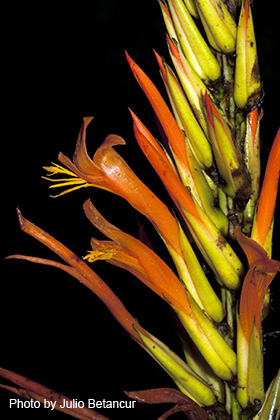 "Bromeliads (""Bromeliaceae""). ""Pitcairnia fruticosa."