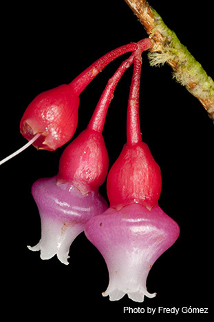 "New World blueberry relatives (""Ericaceae""). ""Psammisia cf. mediobullata"", endemic to the Colombian Andean Cordillera."