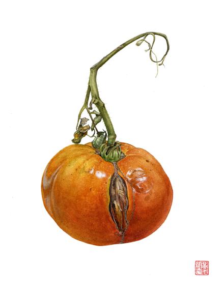 Heirloom Tomato, 'Solanum lycopersicum' © 2009 Asuka Hishiki, watercolor on paper