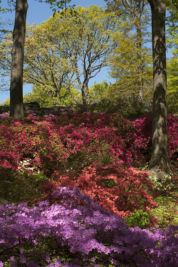 Top Tips for Designing with Azaleas in the Home Garden | NYBG