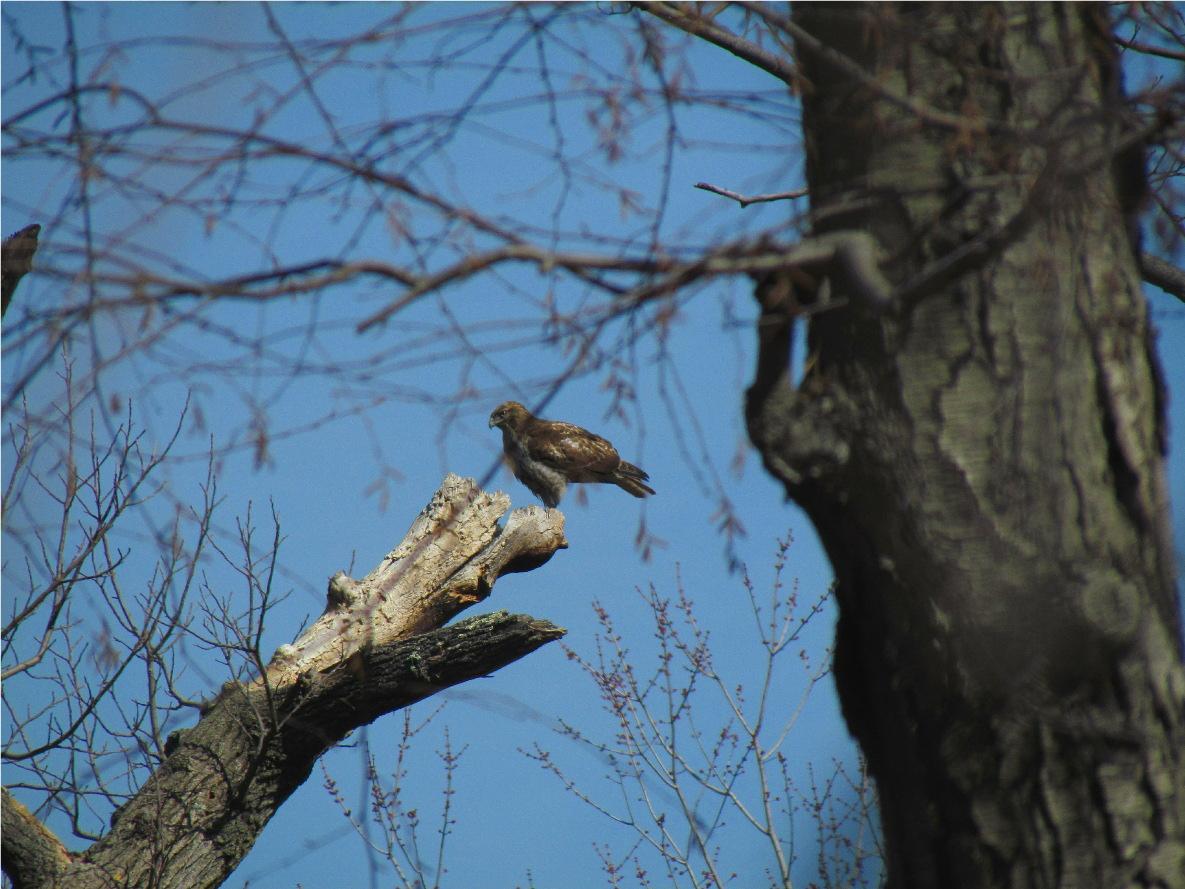 Last Minute Hawk