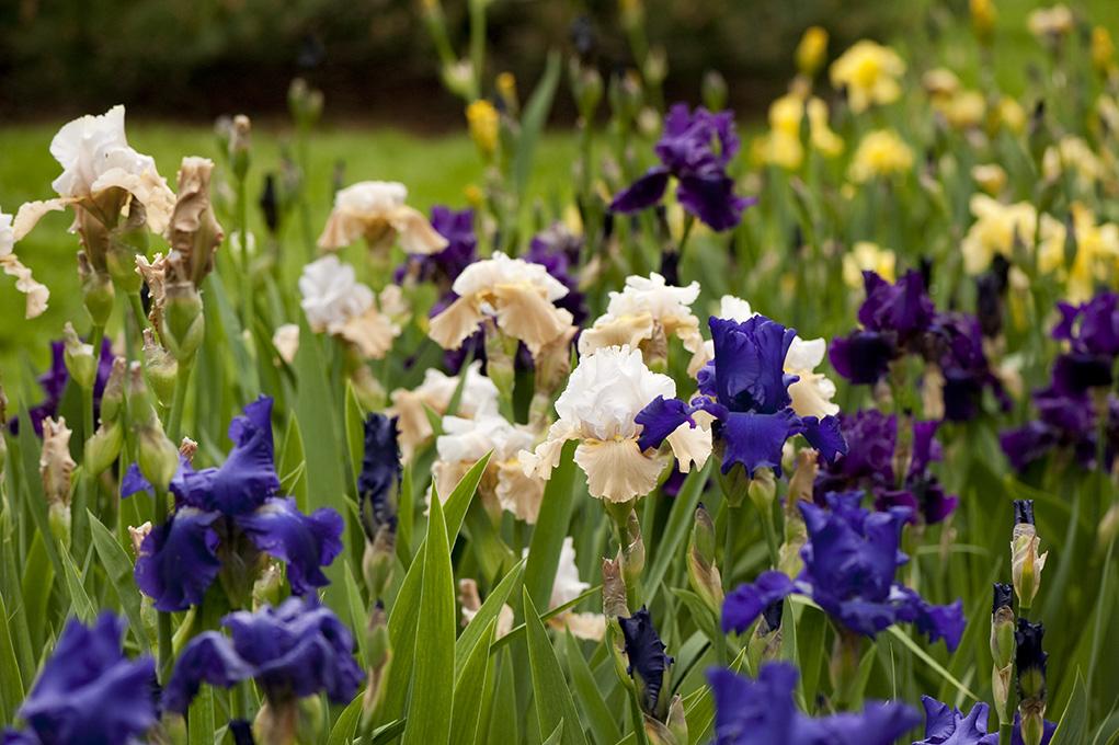 Irises on the Ladies' Border