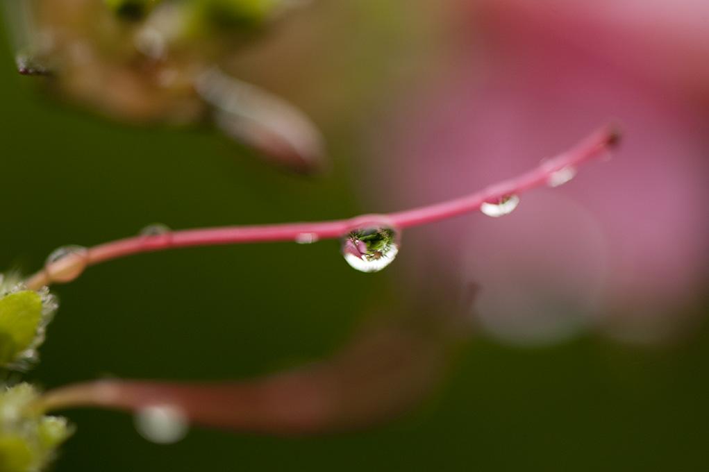 Rhododendron 'Hinomayo'