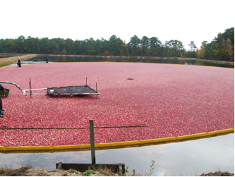 Cranberries are grown in sunken bogs that can be flooded to harvest  the fruit. (photo by Vinson Doyle)