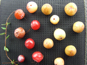 Cranberries infected with pathogenic fungi.  Many different species of fungi are responsible for causing cranberry  fruit-rot, but Colletotrichum is one of the most prevalent in cultivated cranberries. (photo by Vinson Doyle)